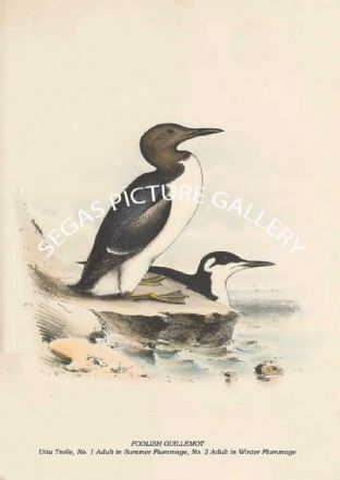 FOOLISH GUILLEMOT - Uria Troile, No. 1 Adult in Summer Plummage, No. 2 Adult in Winter Plummage